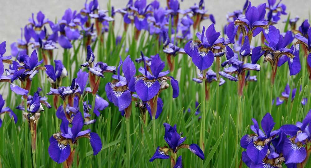 iris-spring-image